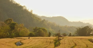 ทุ่งข้าวบาร์เลย์สีทองแห่งสะเมิง แหล่งท่องเที่ยวสุดอันซีนแห่งใหม่ของเมืองไทย